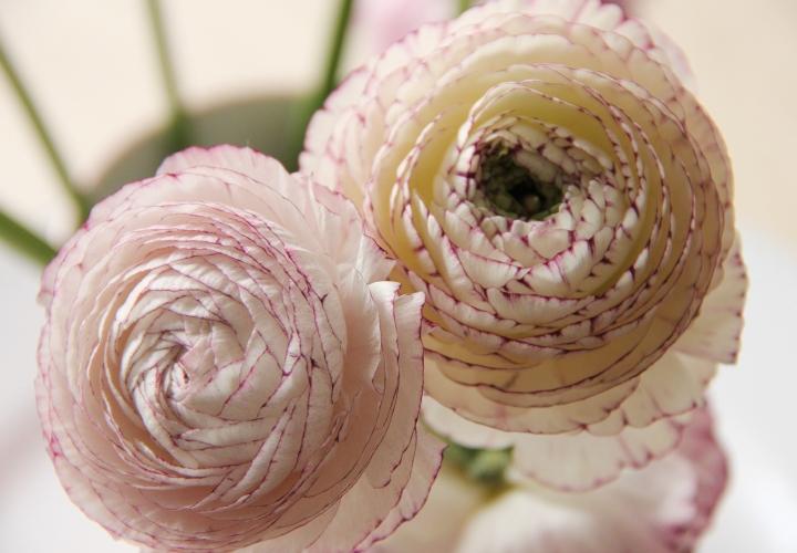 la-souris-coquette-blog-mode-décoration-fleurs-renoncules-1