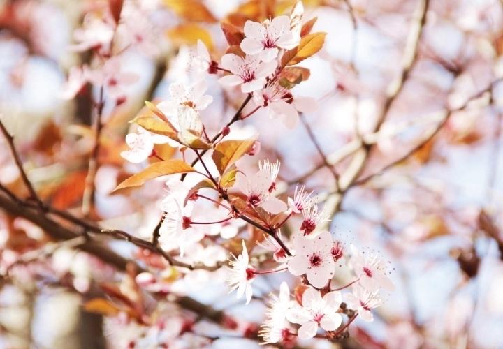 la-souris-coquette-spring-pink-flowers-blossom-pinkblossom-1-Copy