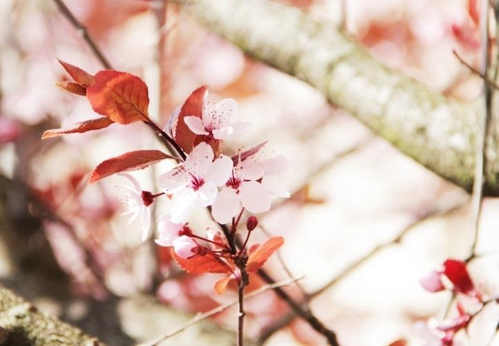 la-souris-coquette-spring-pink-flowers-blossom-pinkblossom-2-Copy