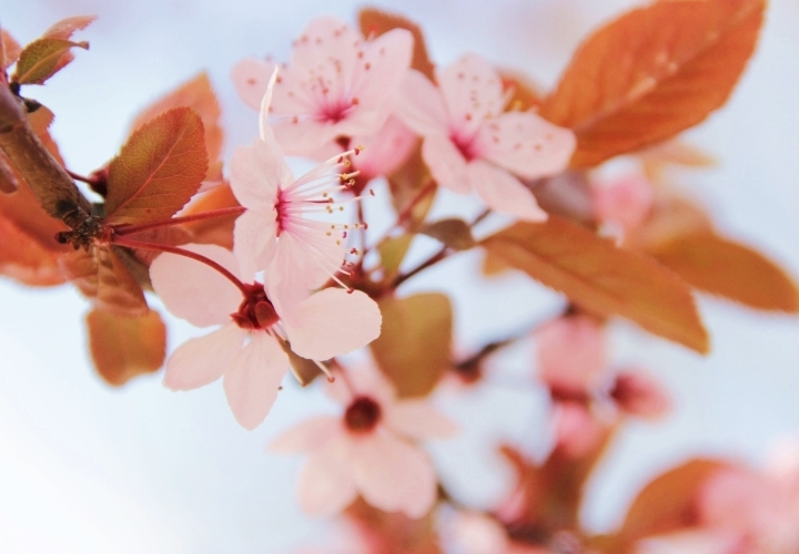 la-souris-coquette-spring-pink-flowers-blossom-pinkblossom-6-Copy