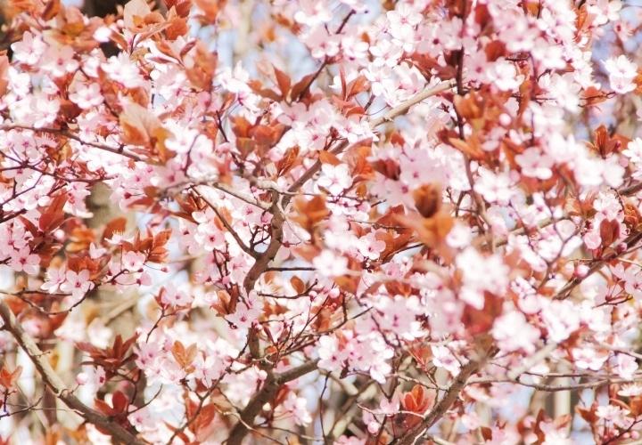 la-souris-coquette-spring-pink-flowers-blossom-pinkblossom-7-Copy
