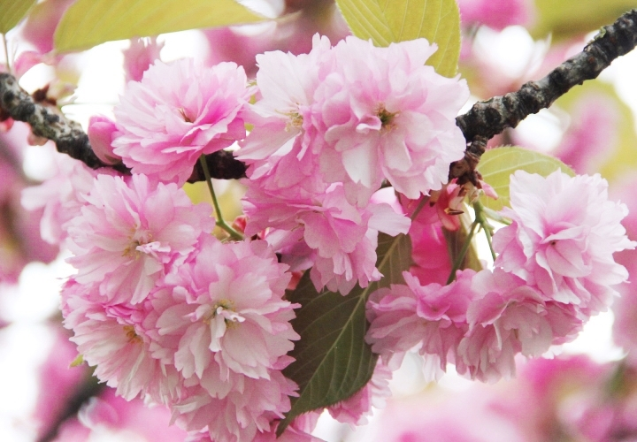 la-souris-coquette-blog-mode-cerisiers-cherry-blossom-13