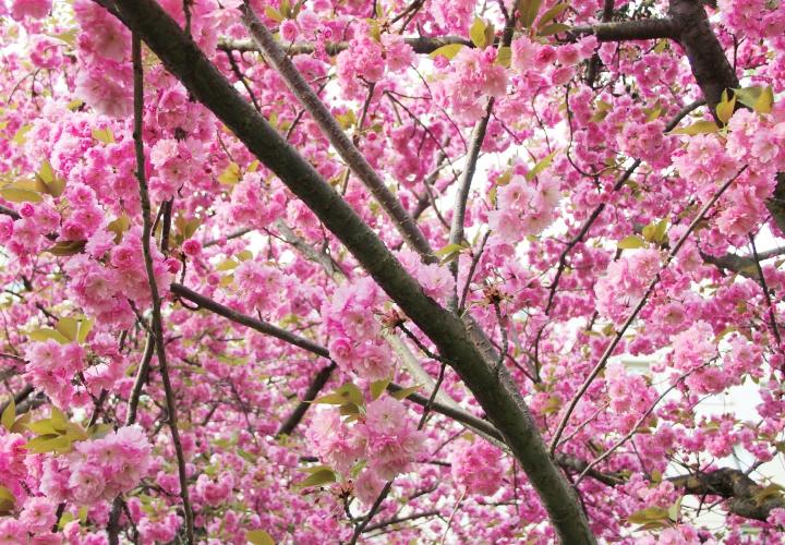 la-souris-coquette-blog-mode-cerisiers-cherry-blossom-14
