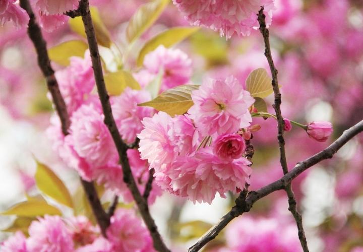 la-souris-coquette-blog-mode-cerisiers-cherry-blossom-15