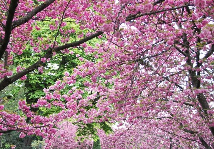 la-souris-coquette-blog-mode-cerisiers-cherry-blossom-17