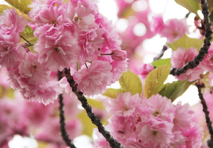 la-souris-coquette-blog-mode-cerisiers-cherry-blossom-18
