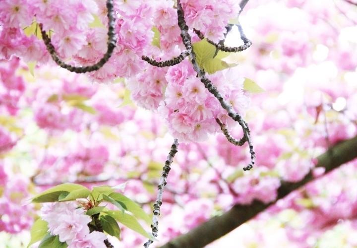 la-souris-coquette-blog-mode-paris-cerisiers-fleurs-trench-claudie-pierlot-sac-chat-sezane-15