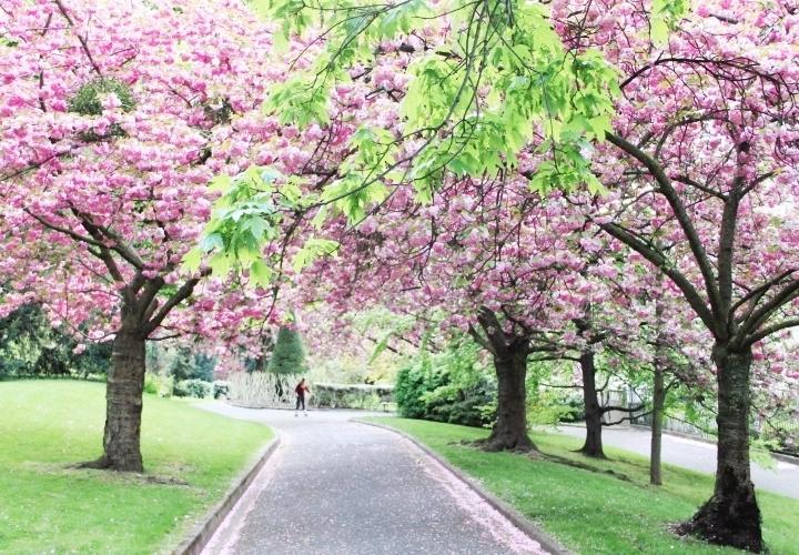 la-souris-coquette-blog-mode-paris-cerisiers-fleurs-trench-claudie-pierlot-sac-chat-sezane-16